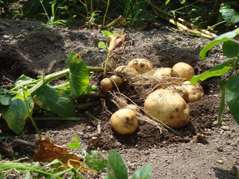 じゃがいも植え、収穫